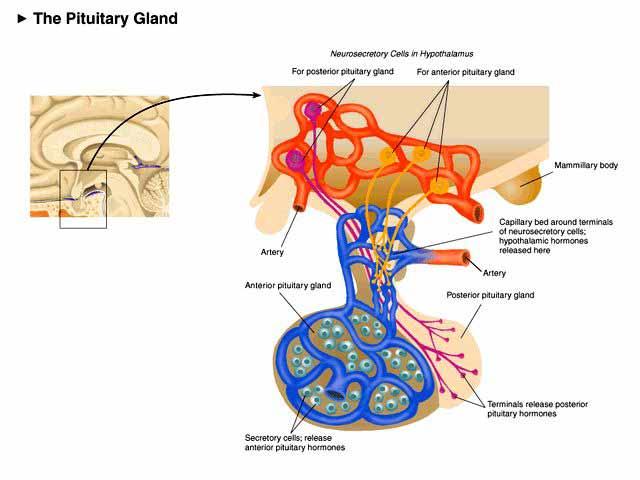 Endocrine Glands Diagram